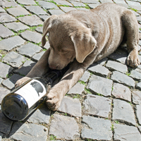 Labrador Hündin Jana spielt mit Flasche