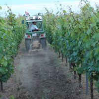 Philipp fährt mit dem Traktor durch den Weinberg und lockert den Boden.