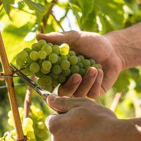 Trauben werden mit der Hand vom Rebstock geschnitten.