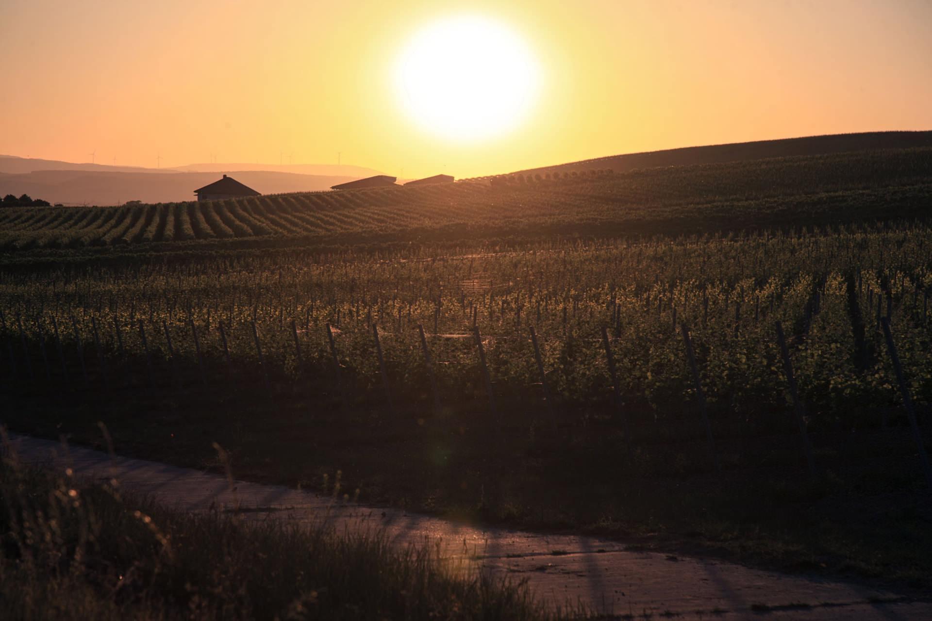 Weinberge in Rheinhessen in der Abendsonne